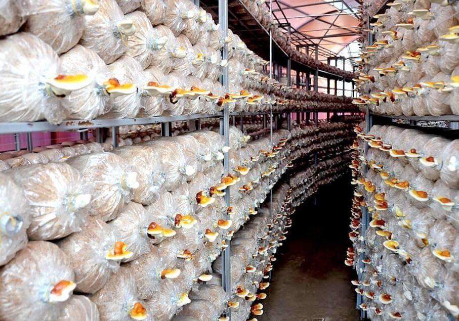 Trại nuôi trồng nấm Linh chi